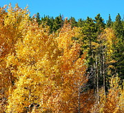 Lush Colors Posters - Fall Colors on the Colorado Aspen Trees Poster by Amy McDaniel