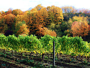 Sparkling Wine Posters - Fall Colors - Oregon Vineyard Poster by Steven Baier