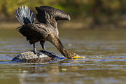 Phalacrocorax Auritus Photos - Fall Cormorant by Mircea Costina Photography