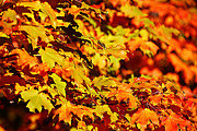 Leave Prints - Fall Foliage Colors 13 Print by Metro DC Photography