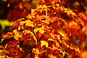 Leafs Photos - Fall Foliage Colors 14 by Metro DC Photography
