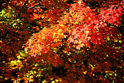 Colorful Photo Metal Prints - Fall Foliage Colors 21 Metal Print by Metro DC Photography