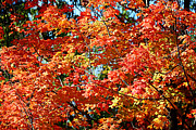 Leaf Photo Prints - Fall Foliage Colors 22 Print by Metro DC Photography
