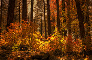 Oak Creek Posters - Fall Forest  Poster by Saija  Lehtonen