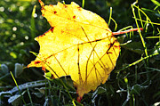 Backlit Prints - Fall Frost Fallen Leaf Print by Thomas R Fletcher