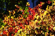 Grapevines Photos - Fall Grape Leaves 2 by Michael Courtney