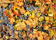 Wine Vineyard Photos - Fall Grapes by Carol Groenen
