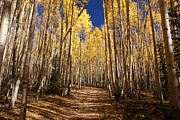 Hiking Prints - Fall Hike in the Aspens Print by Michael J Bauer