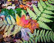 Fall Leaves Photos - Fall In the Ferns by Bill Pevlor