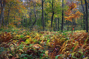 Woodland Scenes Photo Prints - Fall in the Forest Print by Bill  Wakeley