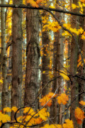 Fall Trees Posters - Fall in Upper Michigan Poster by Todd Bielby