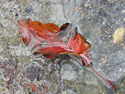 Megan Brandl - Fall Leaf in Puddle