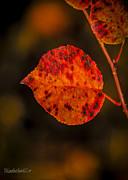 LeeAnn McLaneGoetz McLaneGoetzStudioLLCcom - Fall Leaf on Fire