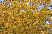 Eunice Gibb - Fall Leaves