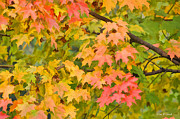 Fall Leaves Maple Tree Print by Dan Friend