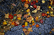 Asphalt Photo Framed Prints - Fall leaves on pavement Framed Print by Elena Elisseeva