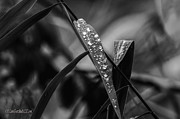 LeeAnn McLaneGoetz McLaneGoetzStudioLLCcom - Fall Leaves with dew
