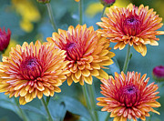 Disk Flowers Prints - Fall Mums Print by A Gurmankin