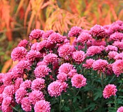 Colors Of Autumn Posters - Fall Mums Poster by Dan Sproul