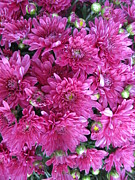 Raspberry Photo Originals - Fall Mums by Elisabeth Ann