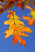 Autumn Foliage Photo Posters - Fall oak leaf Poster by Elena Elisseeva