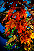 Canon Shooter Photos - Fall Reds by Robert Bales