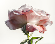 Water Drops Digital Art - Fall rose by Camille Lopez