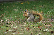 Steph Maxson - Fall Squirrel