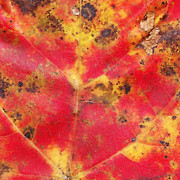 Trevor Slauenwhite - Fall Sugar Maple Leaf