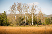 Fall Photographs Prints - Fall Sycamores Print by Paul Bartoszek