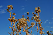 Diane Lent - Fall thistles in Iowa