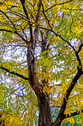 Fort Collins Prints - Fall Tree Print by Keith Ducker