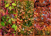 Fall Trees Posters - Fall Trio Collage Poster by Carol Groenen