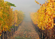 Pinot Noir Photos - Fall Vines by Jean Noren