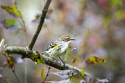 Fall Foliage Digital Art - Fall Warbler Yellow Rumped Female by Christina Rollo