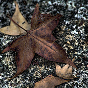 Seasonal Photography Prints - Fallen Brown Leaves Print by Bonnie Bruno