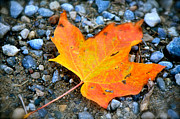 Fallen Leaf Photo Originals - Fallen by Evelyn Gebele