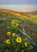 Balsamroot Framed Prints - Fallen in PAradise Framed Print by Mike  Dawson