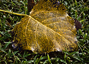 Fallen Leaf 1 Print by Greg Jackson