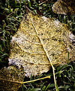 Fallen Leaf On Water Photo Metal Prints - Fallen Leaf 3 Metal Print by Greg Jackson