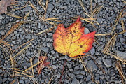 Fallen Leaf Photo Originals - Fallen Leaf by Dora Sofia Caputo
