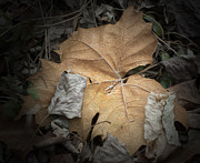 Fallen Leafs Photos - Fallen Leaf by Scott Kenney