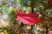 Tam Ryan - Fallen Leaf