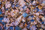 Fallen Leaf Photos - Fallen Leaves by Alexander Senin