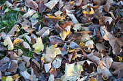 Fallen Leaves Posters - Fallen Leaves Poster by Bill Cannon