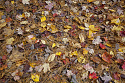 Fallen Leafs Photos - Fallen Leaves by Jonathan Welch