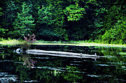 Pine Barrens Prints - Fallen Log in a Lake Print by Bill Cannon