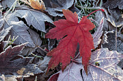 Changing Of The Seasons Prints - Fallen Maple Leaf Print by Aaron Spong