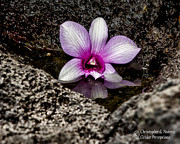 Christopher Holmes - Fallen Orchid