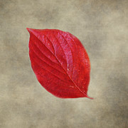 Earth Tone Framed Prints - FALLEN Red Leaf Framed Print by Jai Johnson